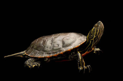 A western painted turtle (Chrysemys picta) at the Oregon Zoo.