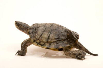 A vulnerable (IUCN) western pond turtle (Actinemys marmorata) at the Oregon Zoo.