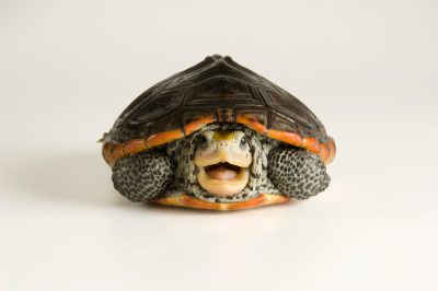Picture of a Mississippi diamondback terrapin (Malaclemys terrapin) at the Estuarium in Dauphin Island, AL.