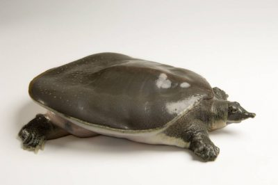 A gulf coast smooth softshell turtle (Trionyx muticus calvatus) at the Estuarium in Dauphin Island, AL.