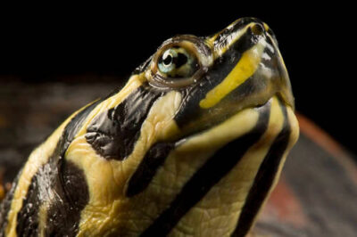 Photo: An Eastern redbelly turtle (Pseudemys rubriventris) at the Estuarium in Dauphin Island, AL.
