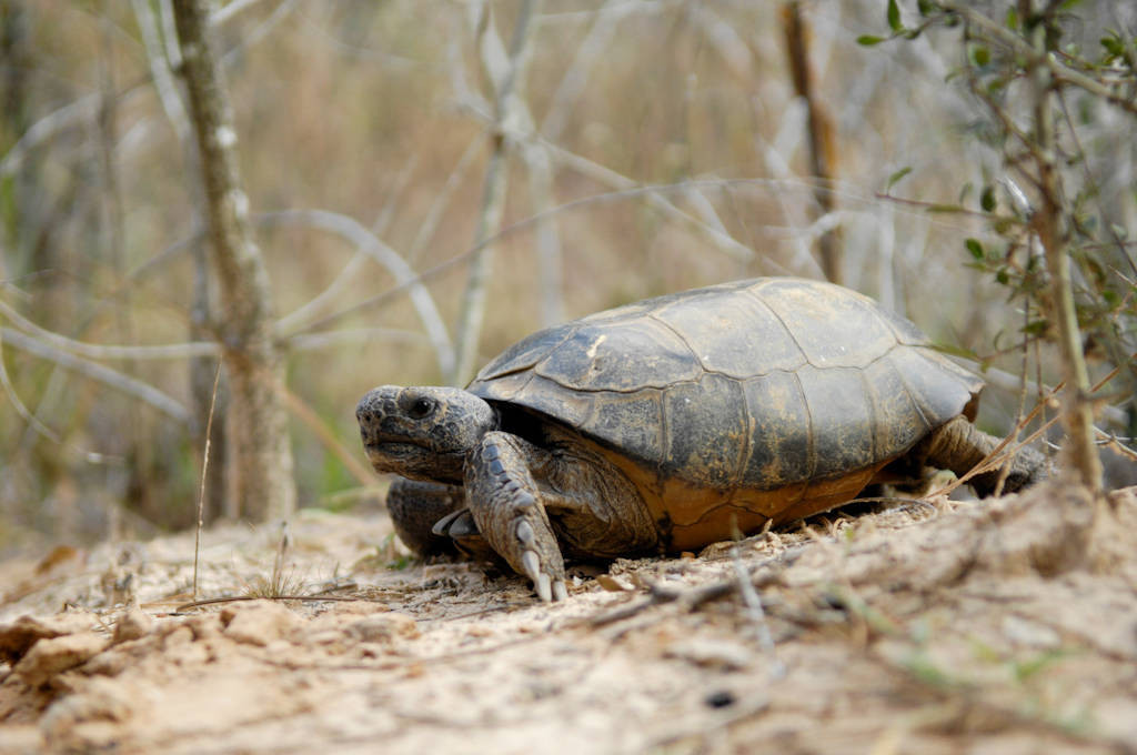 Photo: A gopher tortoise (Geopherus polyphemus) along Hwy 49, a four lane that is one of the busiest in MS. Many tortoises are killed on the road system.