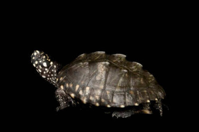 Picture of a vulnerable (IUCN) and federally endangered Hamilton pond turtle (Geoclemys hamiltonii) at the Lowry Park Zoo in Tampa, FL.