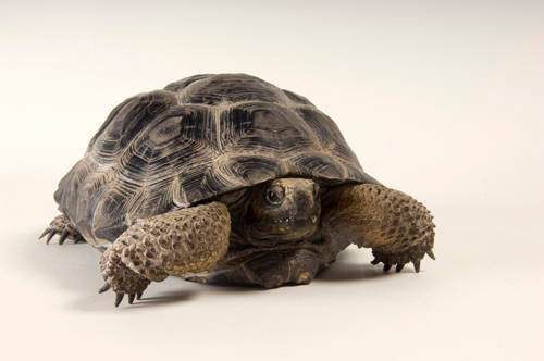 Photo: A Vulcan Darwin tortoise (Geochelone niger microphyes) at the Omaha Zoo.