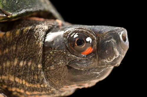An endangered (IUCN) Beal's four-eyed turtle (Sacalia bealei) at the Tennessee Aquarium.