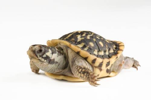 A baby ornate box turtle (Terrapene ornata ornata) from a private collection.