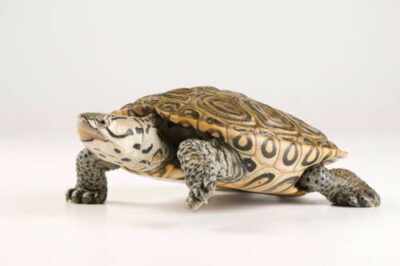 Picture of a diamondback terrapin (Malaclemys terrapin) from a private collection.