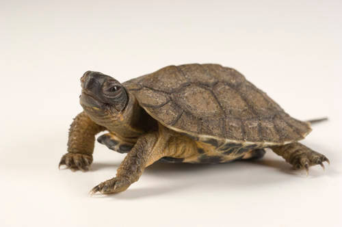 A vulnerable North American wood turtle (Glyptemys insculpta) from a private collection.