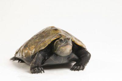 Japanese pond turtle (Mauremys japonica) at the Tennessee Aquarium.