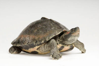 Photo & tent turtle images - Joel Sartore