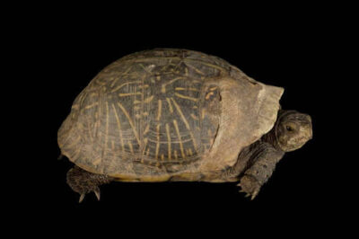 Florida box turtle (Terrapene carolina bauri) at the Lowry Park Zoo.