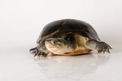 Picture of an endangered Yellow Asian pond turtle (Mauremys nigricans) at the Denver Aquarium.