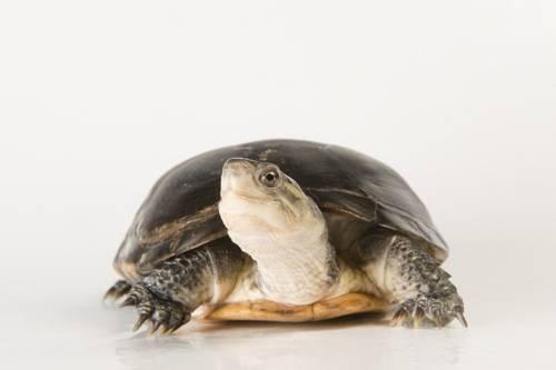 An endangered Yellow Asian pond turtle (Mauremys nigricans) at the Denver Aquarium.