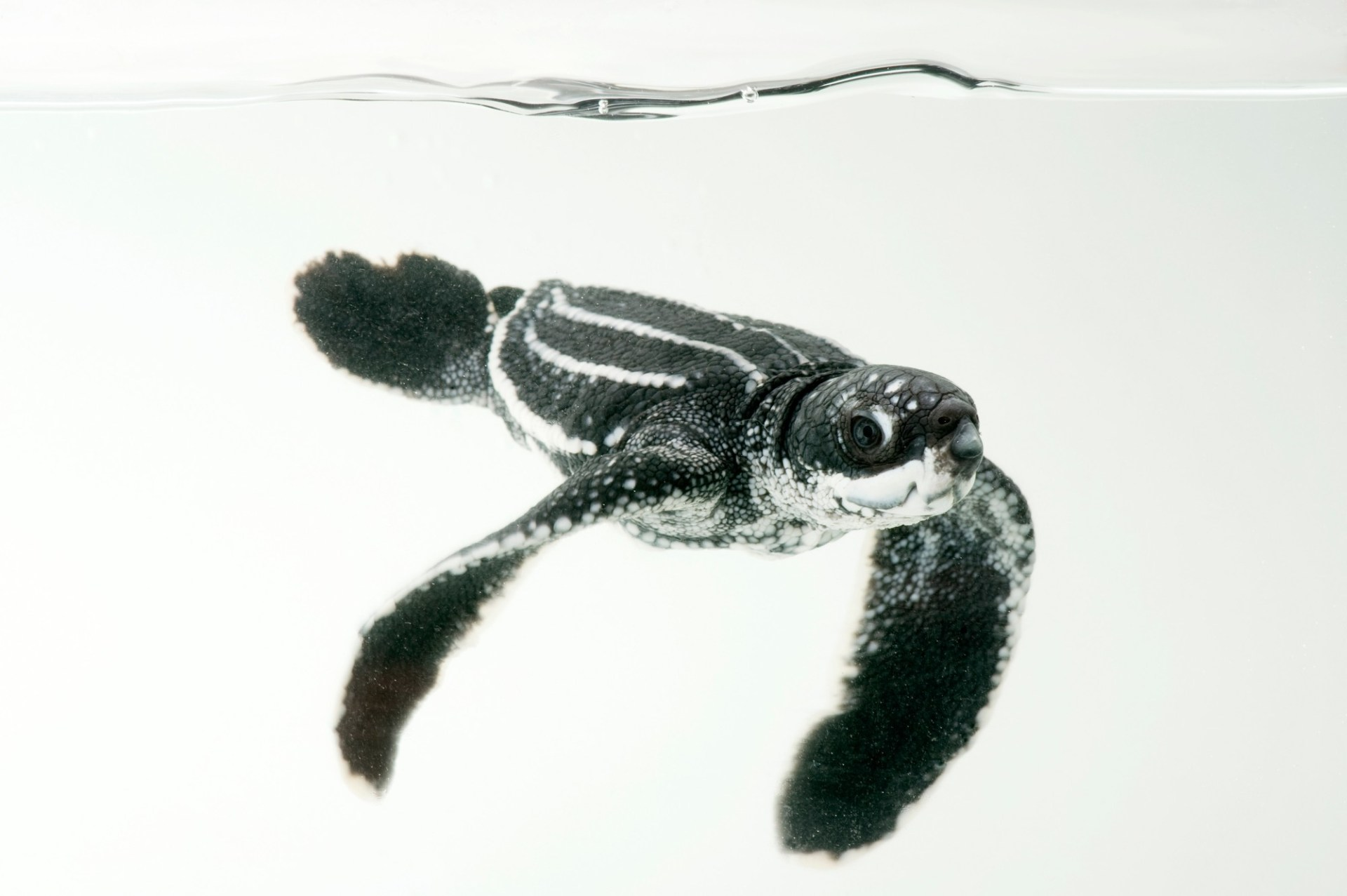 A half-day-old hatchling leatherback turtle (Dermochelys coriacea) from the wild in Bioko. This species is listed as critically endangered by IUCN, and federally endangered (US).