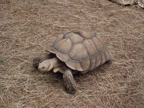 Photo: An African spurred tortoise (Geochelone sulcata) at Lincoln Children's Zoo.