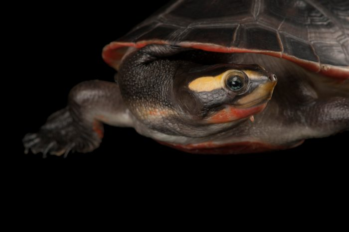A red-bellied side-necked turtle (Emydura subglobosa ) at the Fort Worth Zoo.