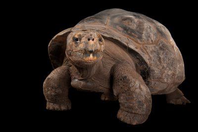 A nearly 100 year old female Galapagos tortoises (Chelonoidis vicina) at the Gladys Porter Zoo.