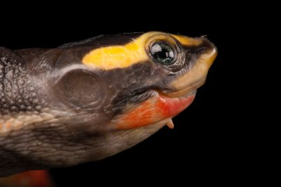 A red-bellied side necked turtle (Emydura subglobosa) at the Fort Worth Zoo.