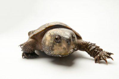 Photo: A big-headed turtle (Platysternon megacephalum shiui) at the Sedgwick County Zoo.
