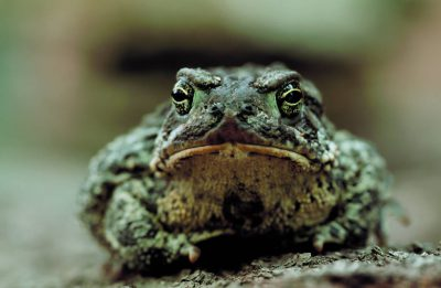 Photo: The Wyoming toad is one of the most endangered amphibians in the US. Amphibians absorb pollution through their skin, and their eggs are sensitive to UV rays, which are in higher concentration due to a thinning ozone layer.