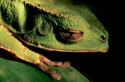 Photo: Close-up of a tree frog in Bolivia's Madidi National Park in the Amazon rainforest.