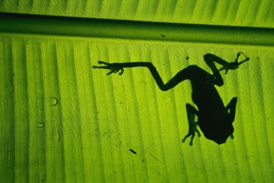 Photo: A tree frog silhouetted against a leaf in Bolivia's Madidi National Park.