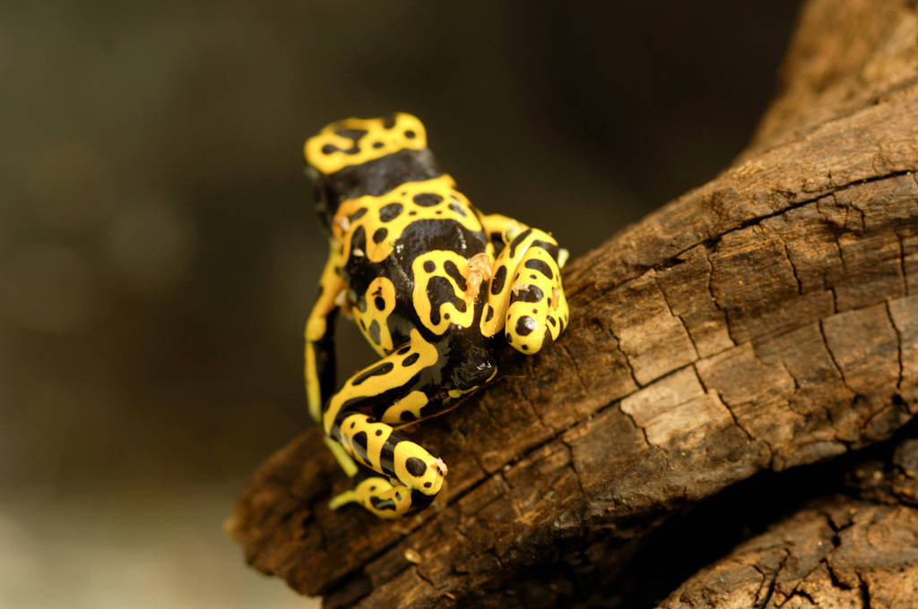 Bumblebee or yellow-backed poison dart frog (Dendrobates leucomelas) at the Lincoln Children's Zoo, Lincoln, Nebraska.