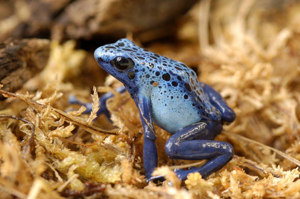Blue poison dart frog (Dendrobates azureus) at the Lincoln Children's Zoo, Lincoln, Nebraska.