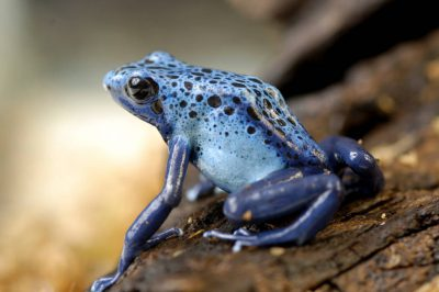 Blue poison dart frog (Dendrobates azureus) at the Lincoln Children's Zoo, Lincoln, Nebraska.