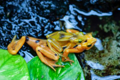 A critically endangered (IUCN) and federally endangered Panamanian golden frog (Atelopus zeteki) at the Houston Zoo.