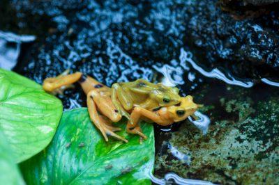 A critically endangered (IUCN) and federally endangered Panamanian golden frog (Atelopus zeteki) at the Houston Zoo.