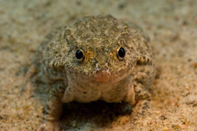 Photo: A Mississippi gopher frog (Lithobates sevosa) from the Omaha Zoo.