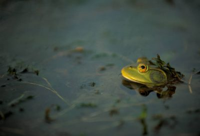 Photo: A frog pokes his head above the surface of a farm pond near Lincoln, NE.