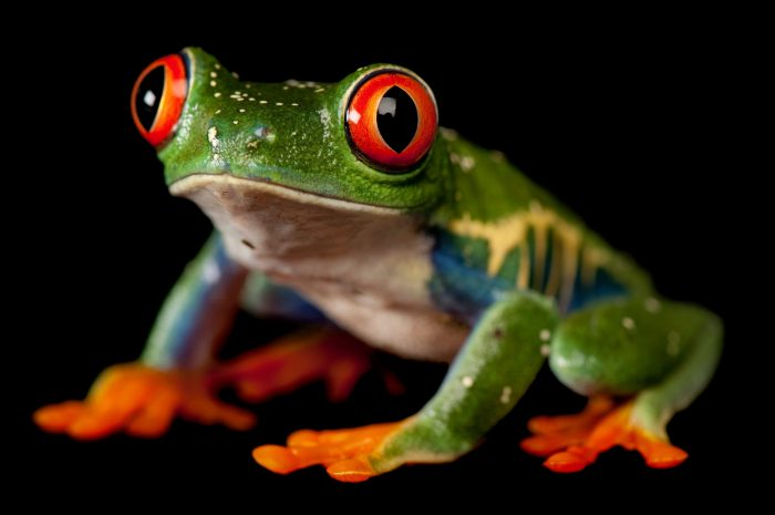 A red-eyed tree frog (Agalychnis callidryas), at the Sunset Zoo in Manhattan, KS.