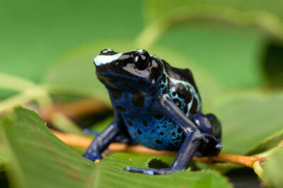 A blue and yellow poison dart frog or dyeing poison dart frog (Dendrobates tinctorius) at the Sunset Zoo.