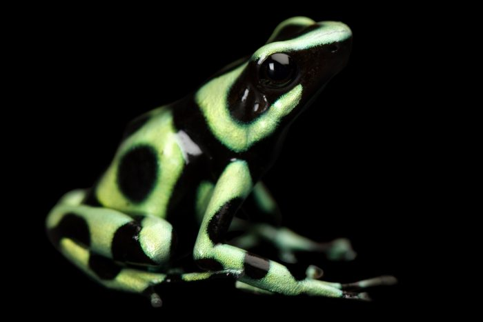A green and black poison dart frog (Dendrobates auratus) at the Sunset Zoo.
