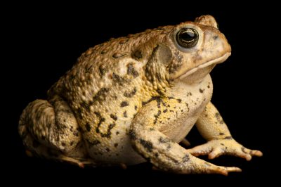 Photo: Woodhouse's toad (Bufo woodhousei) at the Sedgwick County Zoo.