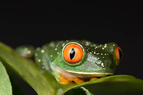 A red-eyed tree frog (Agalychnis callidryas) at the Sunset Zoo in Manhattan, Kansas.