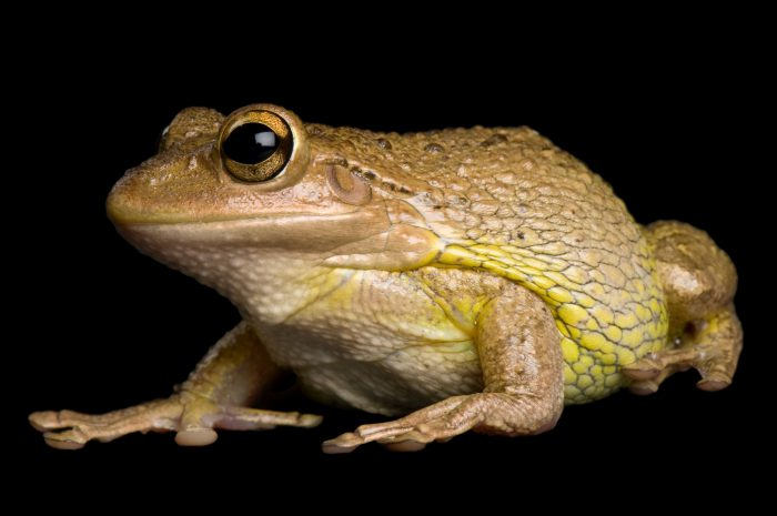 Photo: A Cuban tree frog (Osteopilus septentrionalis) at the Kansas City Zoo.