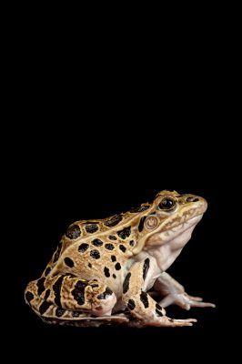 Southern leopard frog ( Lithobates sphenocephalus ) at the Denver zoo.