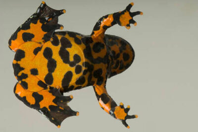 Oriental fire-bellied toad (Bombina orientalis) at the Denver Zoo.