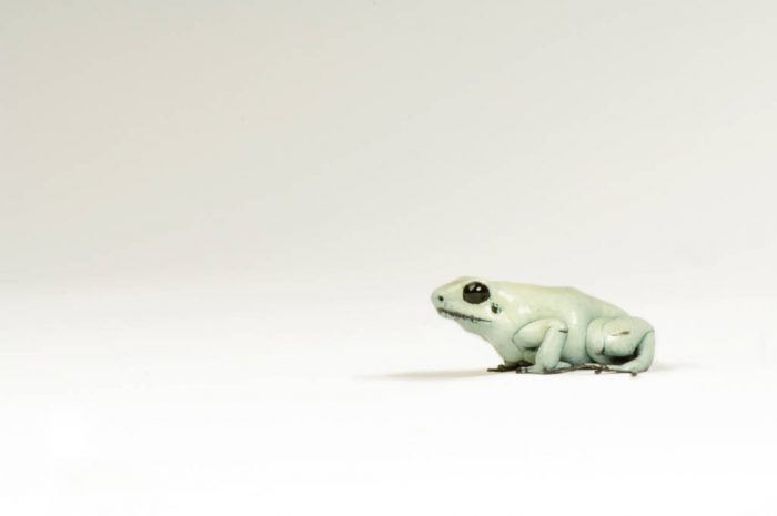 An endangered golden poison dart frog or terrible poison dart frog (Phyllobates terribilis) at the Rolling Hills zoo.