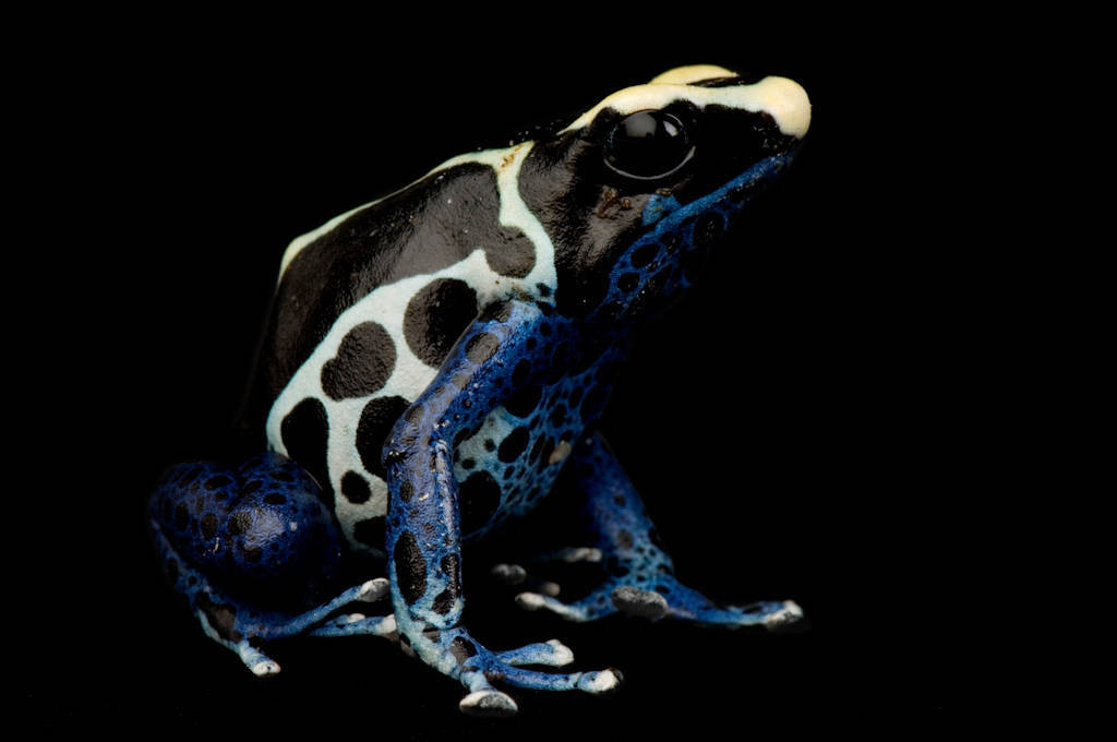 A yellow and blue poison dart frog or dyeing poison dart frog (Dendrobates tinctorius) at the Rolling Hills zoo.