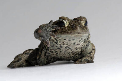 A boreal toad (Anaxyrus boreas boreas) at the Cheyenne Mountain Zoo.