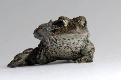 Boreal toad images joel sartore a boreal toad anaxyrus boreas boreas at the cheyenne mountain zoo sciox Image collections