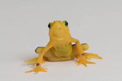 A critically endangered (IUCN) and federally endangered Panamanian golden frog (Atelopus zeteki) at the Cheyenne Mountain Zoo.