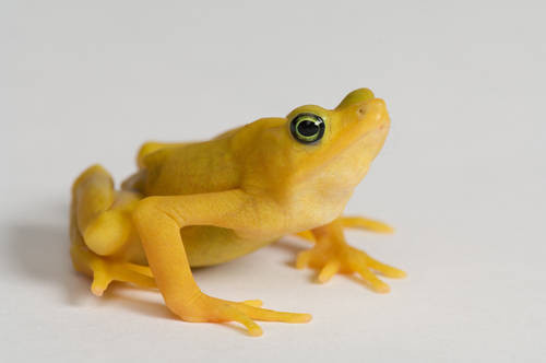 A critically endangered (IUCN) and federally endangered Panamanian golden frog (Atelopus zeteki) at the Cheyenne Mountain Zoo.