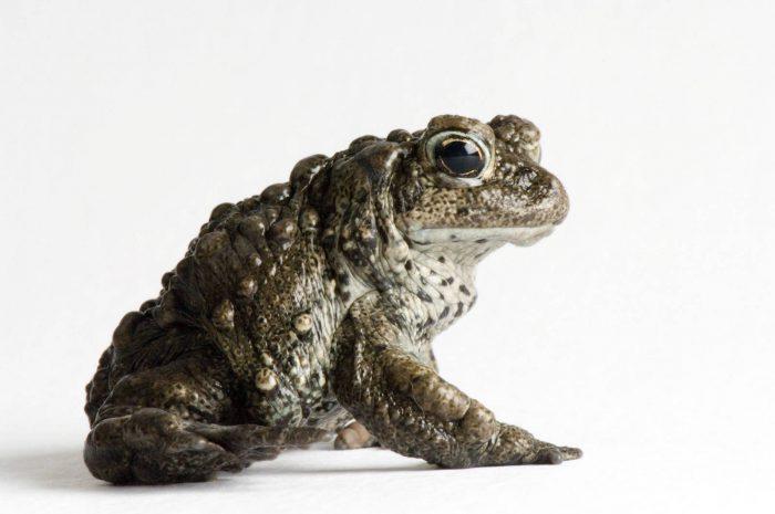 A boreal toad (Anaxyrus boreas boreas) at the Cheyenne Mountain Zoo.