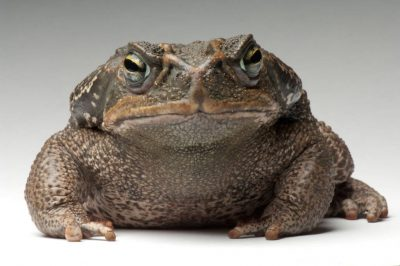 Photo: Rococo toad (Rhinella (Bufo) paracnemis) at the Bramble Park Zoo.