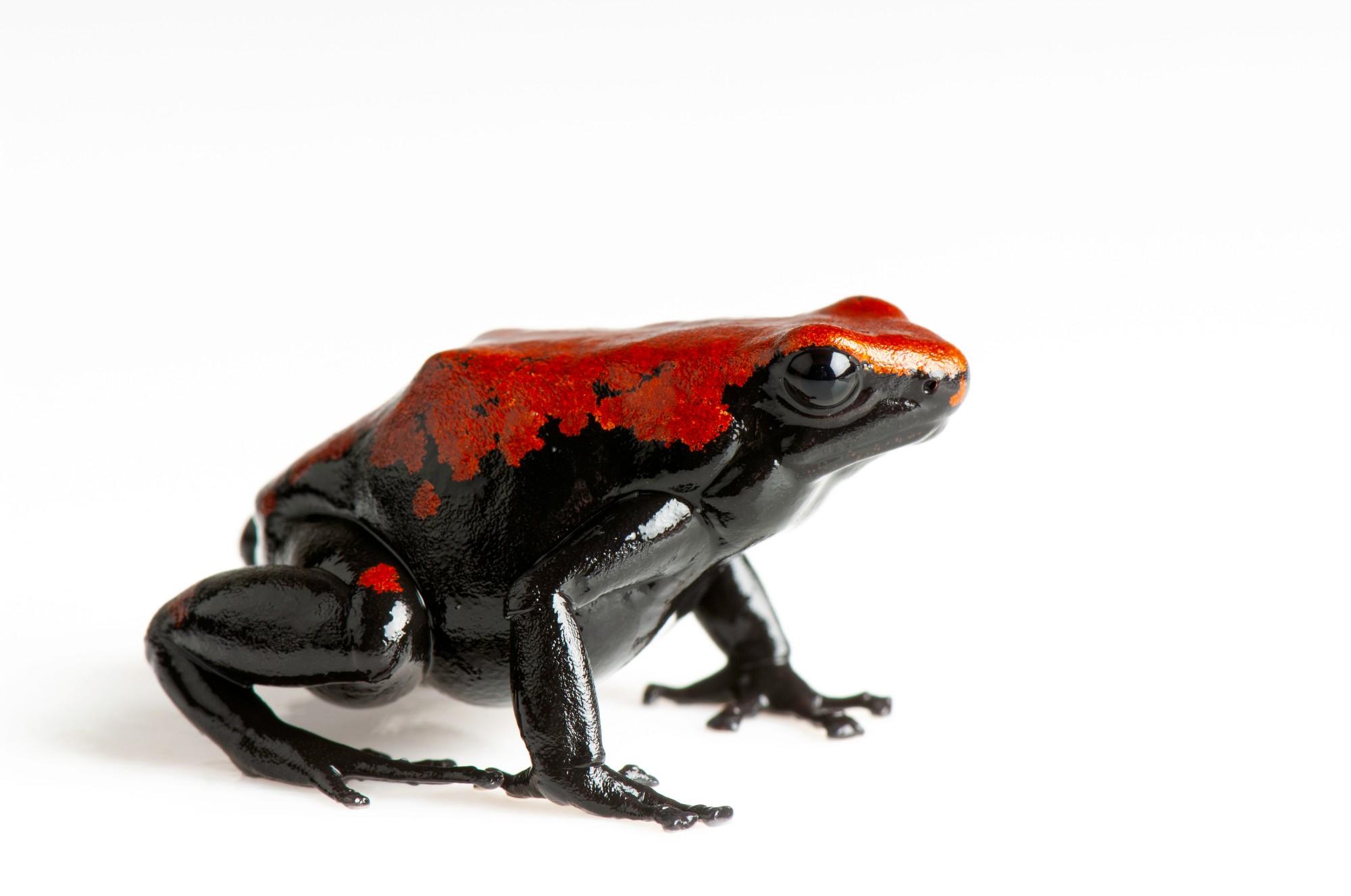 A splash-backed poison dart frog (Adelphobates galactonotus) at Omaha's Henry Doorly Zoo.